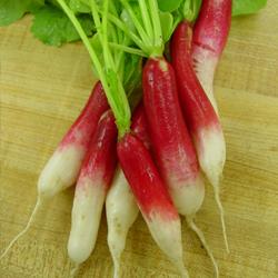 radish d'avignon